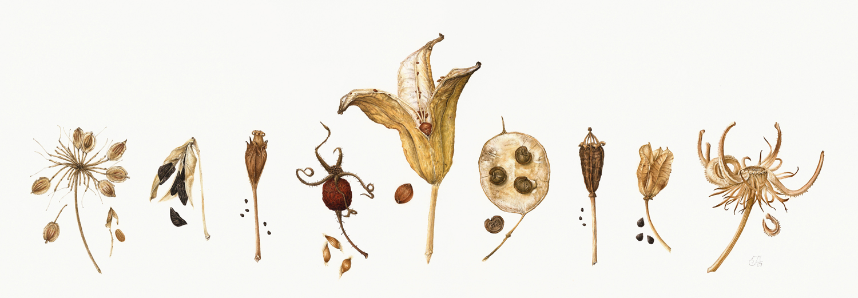 seed heads-J.Isard