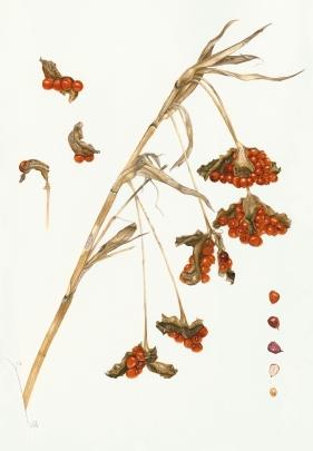 Stinking Iris - Iris foetidissima