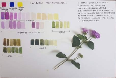 Lantana montevidensis by student Raashmi