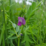 Common vetch