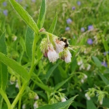 Wild comfrey? let me know!