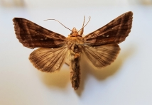 Beautiful Golden Y moth