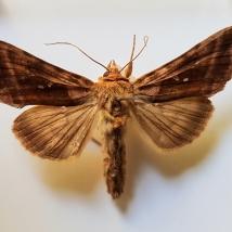 Beautiful Golden Y moth