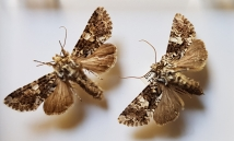 marbled coronet moth