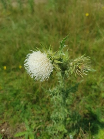 White Musk thistle