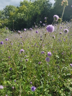 Not Devil's bit... Field scabious with a genetic problem!