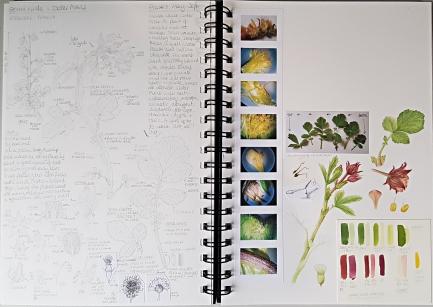 Botany Sketchbook - Water Avens