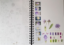 Botany Sketchbook - Devil's bit scabious