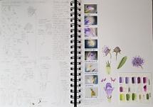 Botany Sketchbook - Devil's bit scabious