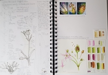 Botany Sketchbook - Ragged Robin