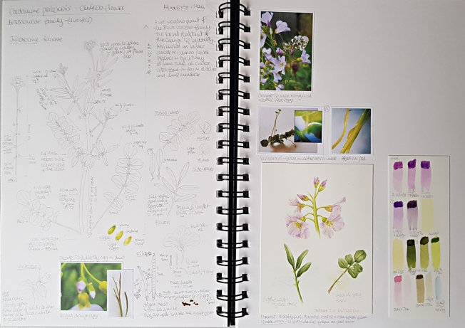 Botany Sketchbook - Cuckoo flower