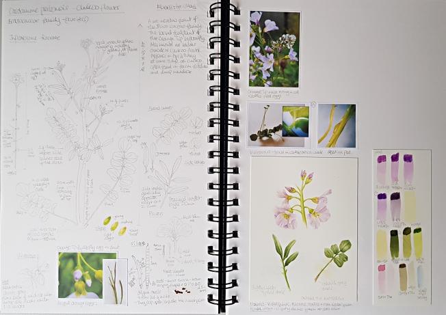 Botany Sketchbook - Cuckoo flower