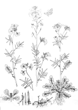 Cardamine pratensis drawing