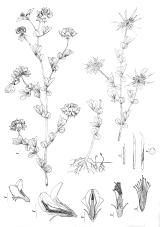 Lotus pedunculatus drawing
