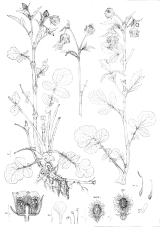Geum rivale drawing