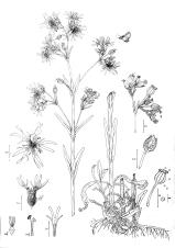 Silene (Lychnis) flos-cuculi drawing